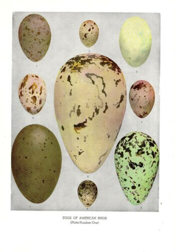 "1936 Vintage FUERTES BIRD EGGS #1 /""LOON AUK TERN GULL/"" Color Birds Lithograph"