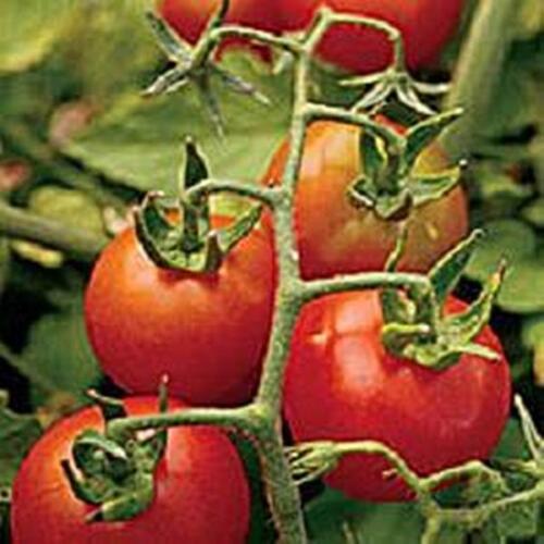 Fox Cherry Tomato Seeds