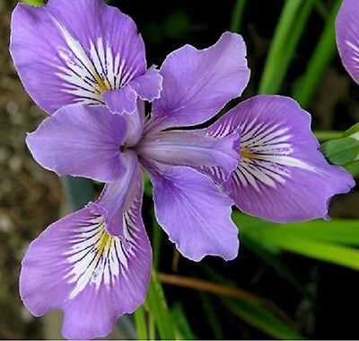 20+ OREGAN IRIS / PURPLE AND WHITE  / PERENNIAL / FLOWER SEEDS