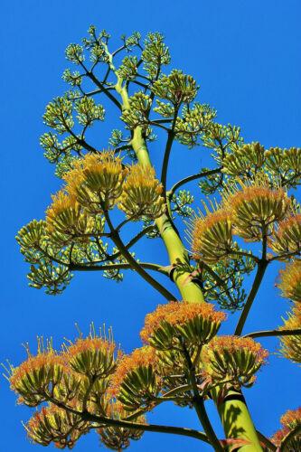 AGAVE AMERICANA RARE succulente exotique Maguey Aloe graines 15 graines Century Plant