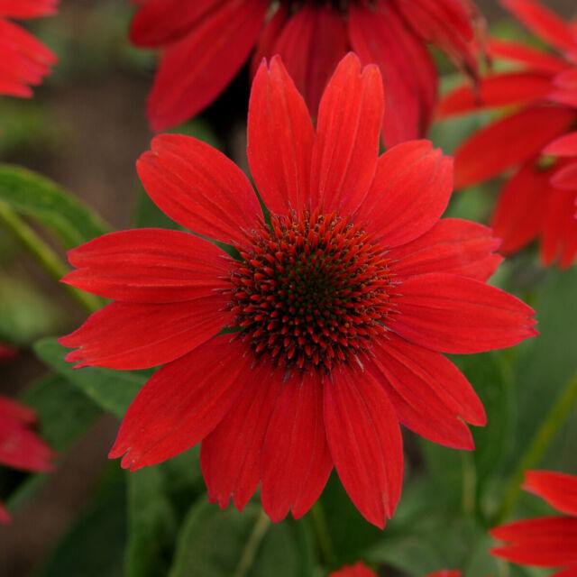 2 Salsa Red Echinacea Coneflower Perennial. Stunning Colors
