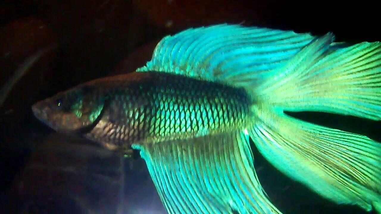 10 (Dieci) verde Betta Coda a doppio Uomini (pesce combattente)