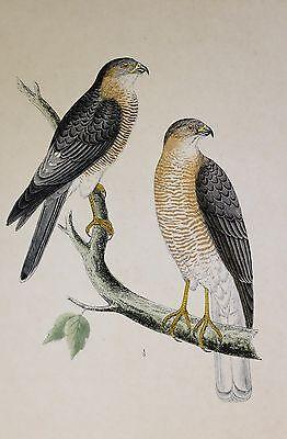 Objective C1875 Antique Print ~ Calcutta Sparrow-hawk Hand Coloured British Birds Morris Durable Modeling Collectibles