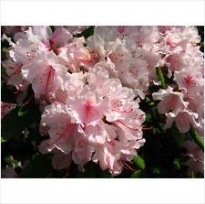 10 PINK ROYAL AZALEA Rhododendron Schlippenbachii Bush Shrub Flower Seeds