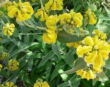 15 Graines de Sauge de Jerusalem BIO seeds plantes fleur vivace medicinale