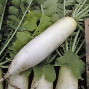 Organic-Radish-Seeds-Chinese-White-Winter-Rare-Heirloom-Non-GMO-Heirloom
