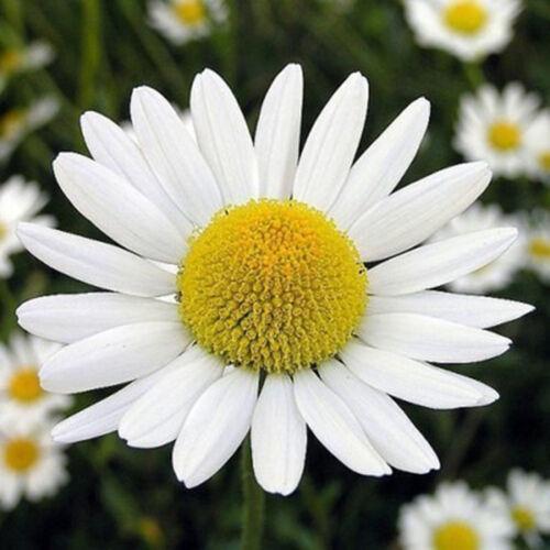 Chrysanthemum  Pro! 500 Samen Großpackung Wiesen Mutterkraut Margerite