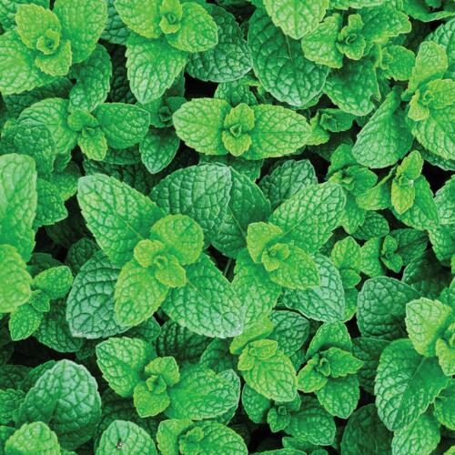 ORGANIC Garden Mint Spearmint Lambs Mint Sprouting Root Cutting for Planting