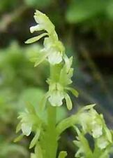 Early Coralroot .. Orchid .. 200 Seeds