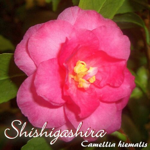 "Trentenaire /""shishigashira/"" 3 ans plante Camellia Hiemalis"