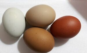 One Dozen Fertile Chicken Hatching Eggs Assorted Barnyard mix