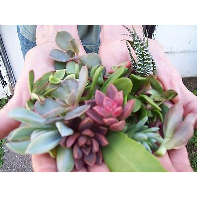 "10 Assorted Succulent Cuttings All Different 3"" - 4"" + BONUS 2 CUTTINGS FREE"