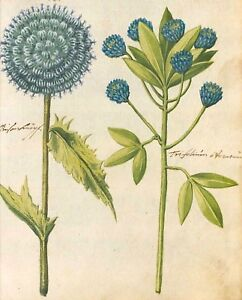 Botanical Postcard Vintage repro Pretty White Iris Against Blue Background
