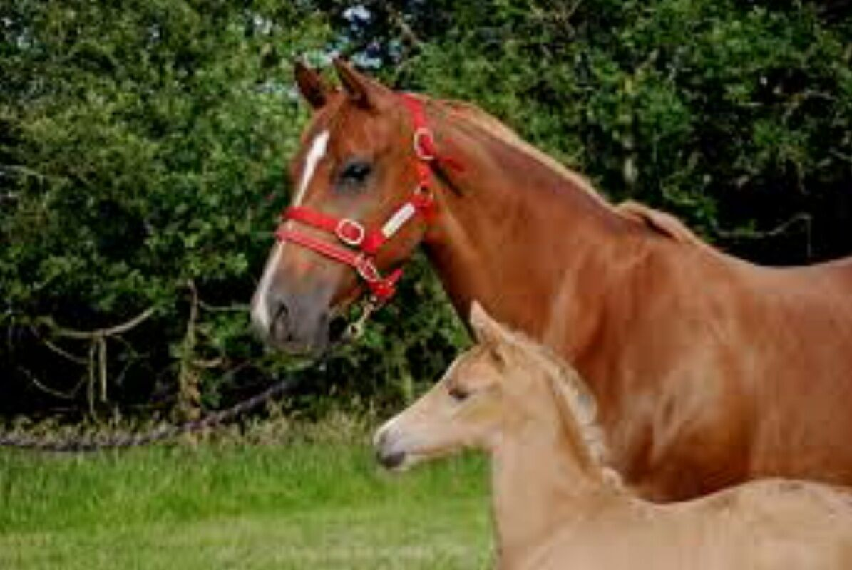 Monty Roberts DUALLY HALTER - how Small ROT Nylon Headcollar With how - to use it DVD e4486a