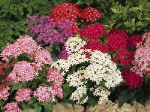25-Pelleted-Seeds-Pentas-Graffiti-Mix-Pentas-Seeds-Star-Flower