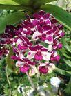 2XRhynchostylis gigantea White-Purple Orchid plant 1