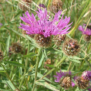 COMMON-KNAPWEED-WILDFLOWER-FOR-BIRDS-amp-BEES-400-SEEDS-wild-flower-seed