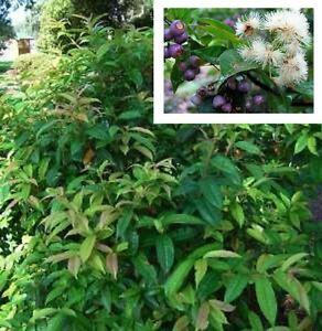TINKLING-SATINASH-Syzygium-alatoramulum-white-flowers-plant-in-140mm-pot