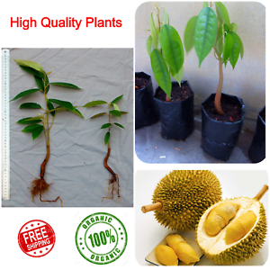 Durian-Durio-Grafted-Fruit-Plant-Yellow-1-2-Feet-High-nutrition-Very-Tasty