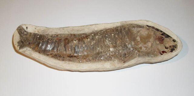 Fossilien Vinctifer Comptoni  Fossil Versteinerung Fisch VH181