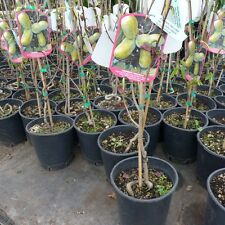 Asimina triloba Indianerbanane ca.80 -100 cm winterhart bildet Früchte Paw Paw