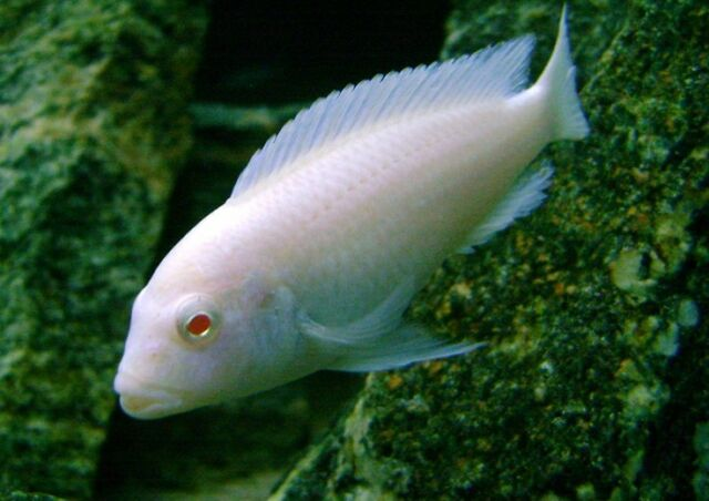 Pseudotropheus socolofi Albino ** Malawi Cichlid **  4cm