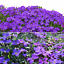 220pcs-Bag-Cascade-Purple-Aubrieta-Flower-Seeds-Perennial-Ground-Cover-Romantic thumbnail 2