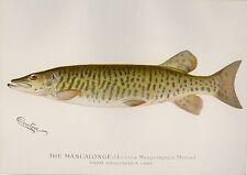 1896 1st Ed. Denton Antique Fish Print ~ Muskie ~ Muskellenge plus bonus