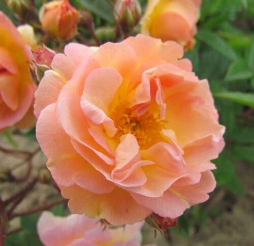 Fragrant Orange GHISLAINE DE FELIGONDE Bareroot Repeat Rambling Garden Rose