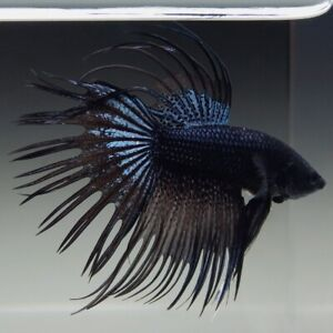 LIVE FISH Black Orchid Crowntail Betta Male - CHEAP FAST Shipping