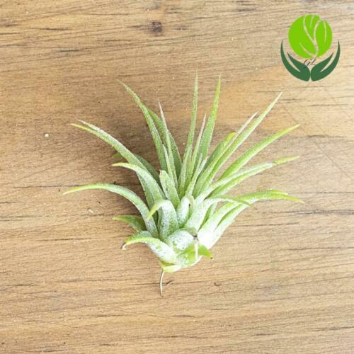 """LARGE STRIPED FOX SHELL 5/"""",AIR PLANT TILLANDSIA Details about  /SEA SHELL HOLDER AIR PLANT"""