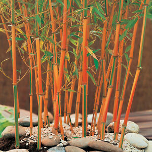 """40 Seeds Rare """"Red Fountain"""" Medicinal Plant Hardy Perennial Red Stem Bamboo"""