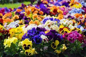 Grande-giardino-fiorito-viola-del-pensiero-mix-di-varieta-600-semi
