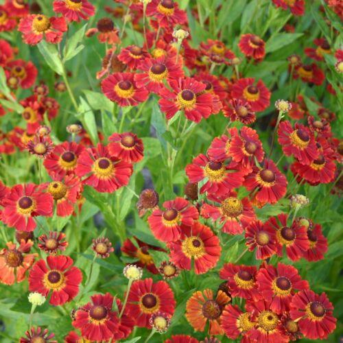 Helenium DUNKLE PRACHT 1x Staude Pflanze Sonnenbraut