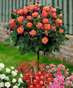 100PCS-Lovely-Rose-Tree-Plant-Seeds-Beautiful-Flowereasy-To-Grow-Ideal-DIY-Home