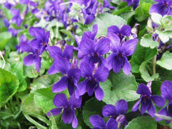 10 púrpura odorata perenne planta púrpuraa Flores silvestres tantas plantas
