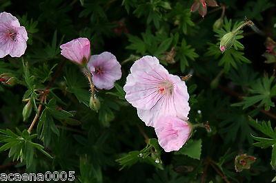"""Storchenschnabel, Geranium sanguineum """"Apfelblüte"""",  ab 2,17€ (Staffelpreise)"""