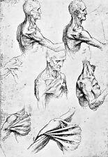 Leonardo Da Vinci Muscles of the Chest and Shoulder  Anatomy Poster Print Art