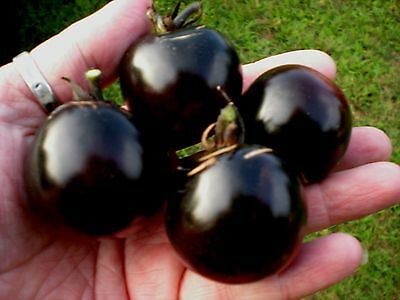 INDIGO ROSE TOMATO! 20 SEEDS - VERY DARK PURPLE -  COMBINED S/H! SEE OUR STORE