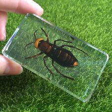 Asian Giant Tiger Hornet Bee Insect Specimen Clear Education Paperweight 73X41mm