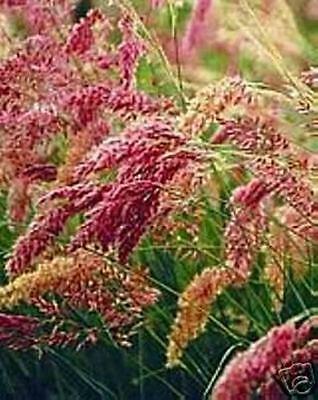 MELINIS SAVANNAH RUBY GRASS 20 SEEDS A LOVELY ORNAMENTAL GRASS YOU WILL ENJOY