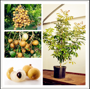 Dimocarpus-Longan-Bonsai-5-PCS-Seeds-Fruit-Dragon-Eye-Tropical-Tree-Garden-NEW-R