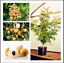 Dimocarpus-Longan-Bonsai-5-PCS-Seeds-Fruit-Dragon-Eye-Tropical-Tree-Garden-NEW-R miniature 1