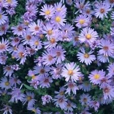 """sun WOODS BLUE aster native butterfly cut flower 2.5"""" pot ☆1 Live Potted Plant☆"""