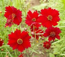 Red Dwarf Coreopsis Seeds! WOW! Free Gift & Combined S/H! SEE OUR STORE!