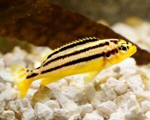 10 (dix) X Melanochromis Auratus (golden Mbuna, Lake Malawi Cichlidés)