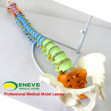 11 Life Size Realistic Education Spine Model With Pelvis Anatomical Skeleton Au