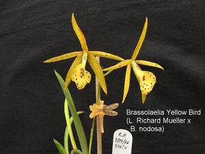 Rare-orchid-species-seedling-brassolaelia-yellow-bird