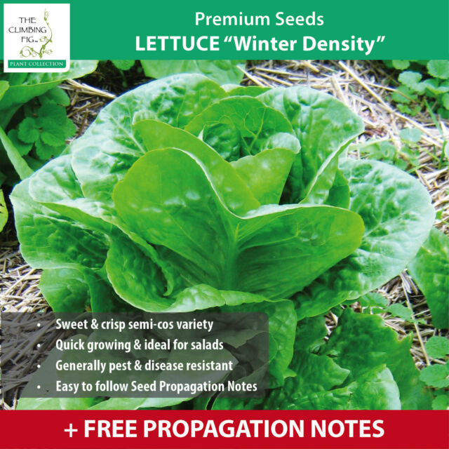 """LETTUCE """"Winter Density™"""" seeds. Extremely quick growing, sweet & crisp variety."""
