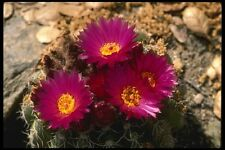 196065 Barrel Cactus fioriture A4 FOTO STAMPA